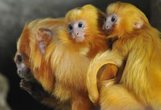 Golden Lion Tamarin. Twins are sitting on the back of mother Royalty Free Stock Photo