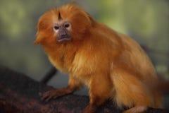 Golden Lion Tamarin Royalty Free Stock Images