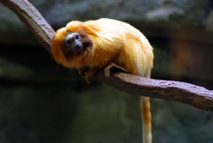 Golden Lion Tamarin. A monkey perched on a tree branch Royalty Free Stock Photo