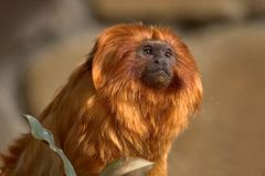 Golden Lion Tamarin. Tamarin looking out with sun on face Royalty Free Stock Photography