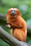 Golden lion tamarin. A golden lion tamarin (Leontopithecus rosalia Stock Images