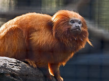 Golden Lion Tamarin. A golden lion tamarin looks up after drinking water from within the zoo Royalty Free Stock Photography