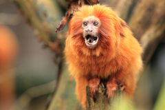 Golden lion tamarin. The shouting golden lion tamarin Stock Image