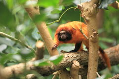 Golden lion tamarin. The golden lion tamarin strolling on the tree Stock Photography
