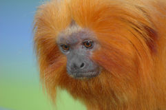 Golden lion tamarin Royalty Free Stock Photos