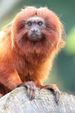 Golden Lion Tamarin. Perched on log royalty free stock photos