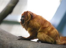 Golden Lion Tamarin. A golden Lion Tamarin (also known as Golden Marmoset) monkey on the branch of a tree Stock Photo