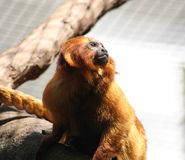 Golden Lion Tamarin. A view of a rare and endangered Golden Lion Tamarin, also called the Golden Marmoset.  Species:  Leontopithecus rosalia Royalty Free Stock Photography