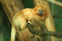 Golden Lion Tamarin. A small primate Royalty Free Stock Photo