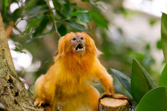 Golden Lion Tamarin. Angry Golden Lion Tamarin (Leontopithecus rosalia) perched on log Royalty Free Stock Photo