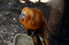 Golden Lion Tamarin on a branch Stock Photography
