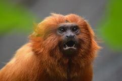 Golden Lion Tamarin Close Up. Golden Lion Tamarin. A beatiful coloured monkey showing his teeth. What is he looking at stock photo