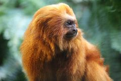 golden lion tamarin close up on an indeterminate green background