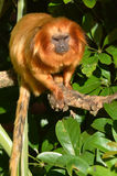 Golden lion tamarin Stock Photos