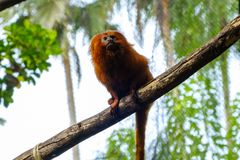 Golden lion tamarin /  golden marmoset - red monkey Royalty Free Stock Photos