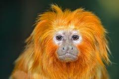 Golden lion tamarin. (Leontopithecus rosalia Royalty Free Stock Photography