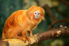 Golden lion tamarin. (Leontopithecus rosalia Stock Photo