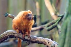 The golden lion tamarin. Leontopithecus rosalia aka the golden marmoset. A small New World monkey native to the Atlantic coastal forests of Brazil Royalty Free Stock Photos