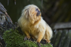Golden lion tamarin. A golden lion tamarin (Leontopithecus rosalia),  also known as the golden marmoset, with its long fur Royalty Free Stock Photo