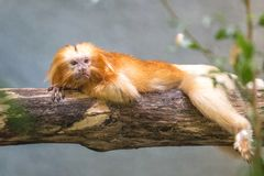 The golden lion tamarin Leontopithecus rosalia. royalty free stock images