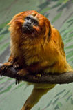 Golden lion tamarin. Leontopithecus rosalia on a branch Stock Photography