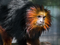 Golden Lion Tamarin (Leontopithecus rosalia) Royalty Free Stock Photo