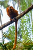 Golden lion tamarin /  golden marmoset - red monkey Stock Image