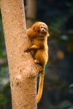 Golden Lion Tamarin Monkey. Perched on a tree Stock Photo