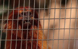 Golden lion tamarin monkey called Leontropithecus rosalia rosali Royalty Free Stock Image