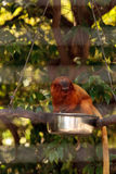 Golden lion tamarin monkey called Leontropithecus rosalia rosali Royalty Free Stock Photography