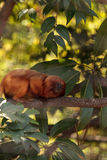 Golden lion tamarin monkey called Leontropithecus rosalia rosali Stock Images