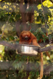 Golden lion tamarin monkey called Leontropithecus rosalia rosali Stock Image