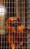 Golden lion tamarin monkey called Leontropithecus rosalia rosali Royalty Free Stock Images