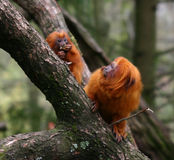 Golden lion tamarin monkeys Royalty Free Stock Images