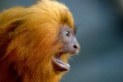 Golden lion tamarin shouting Stock Photos