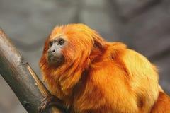 Golden Lion Tamarin-side view. Portrait of a Golden Lion Tamarin monkey (side view Royalty Free Stock Image