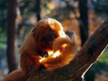 Golden Lion Tamarin Royalty Free Stock Image