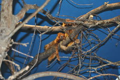 Golden lion tamarin. Two golden lion tamarin together on a branch royalty free stock photo