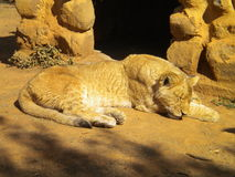 Golden lioness Stock Images