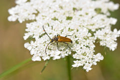 Golden longhorn beetle covered by pollen on white flower Stock Photos