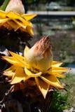 Golden lotus banana. Kyoto Botanical Garden. Japan Royalty Free Stock Photo