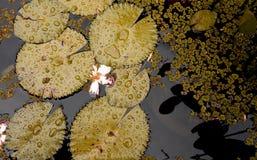 Golden lotus leaf Stock Photo