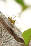 The Golden Lynx Spider Royalty Free Stock Photo