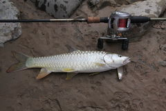 Golden Mahseer on the ground, caught with a spoon royalty free stock image