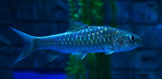 Golden mahseer Royalty Free Stock Image