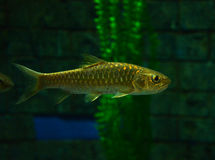 Golden mahseer Stock Photo