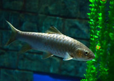 Golden mahseer Royalty Free Stock Photo