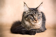 Golden Main Coon Cat Stock Photos