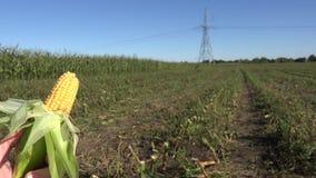 Golden maize corn cob in farmer hand on farm field plantation. Closeup. 4K stock video