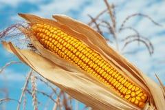 Golden maize on field Stock Photos